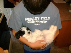 Buying a Havanese